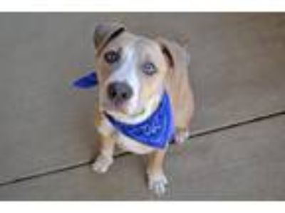 Adopt Palmer a Tan/Yellow/Fawn - with White American Staffordshire Terrier /
