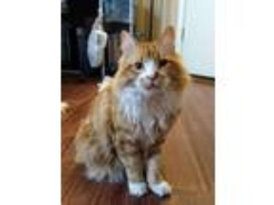 Adopt Teft a Orange or Red (Mostly) Domestic Longhair / Mixed (long coat) cat in