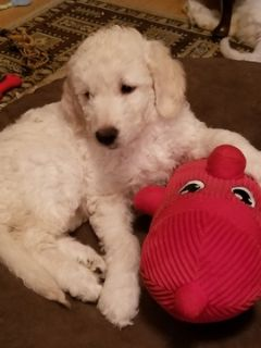 Goldendoodle PUPPY FOR SALE ADN-92817 - English Cream Goldendoodles