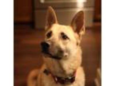 Adopt Zoey a Brown/Chocolate German Shepherd Dog / Husky dog in Rancho