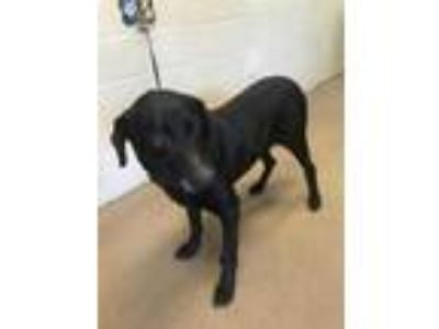 Adopt Rodney* a Black Labrador Retriever / Mixed dog in Anderson, SC (25297855)
