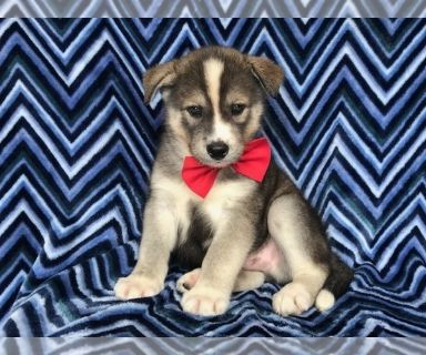 Labrador Retriever-Siberian Husky Mix PUPPY FOR SALE ADN-130494 - Blaze the Siberian Husky Labrador Mix