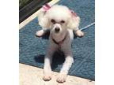 Adopt Pinky a Poodle