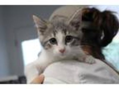 Adopt Polly a Gray or Blue (Mostly) Domestic Shorthair (short coat) cat in Reeds
