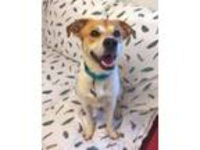 Adopt Honcho a Jack Russell Terrier