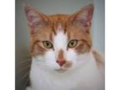 Adopt Bandit a Domestic Short Hair, Tabby