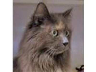 Adopt Emily a Gray or Blue Domestic Longhair / Domestic Shorthair / Mixed cat in