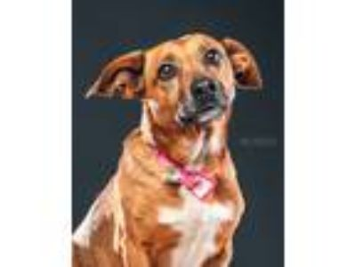 Adopt Missy a Brown/Chocolate - with White Terrier (Unknown Type