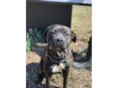 Adopt Dusty a Black American Pit Bull Terrier / Mixed dog in Chestertown