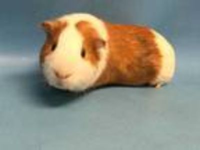 Adopt Iggy a White Guinea Pig / Mixed small animal in Golden Valley