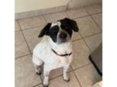 Adopt Mackinac a White - with Black Border Collie / Jack Russell Terrier / Mixed
