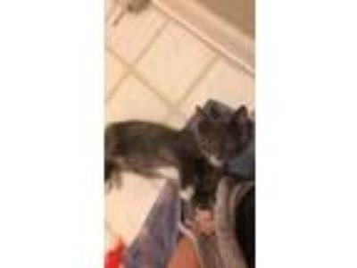 Adopt Tuck a Gray or Blue Domestic Shorthair / Domestic Shorthair / Mixed cat in