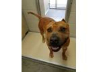 Adopt BUBBA a Tan/Yellow/Fawn American Pit Bull Terrier / Mixed dog in