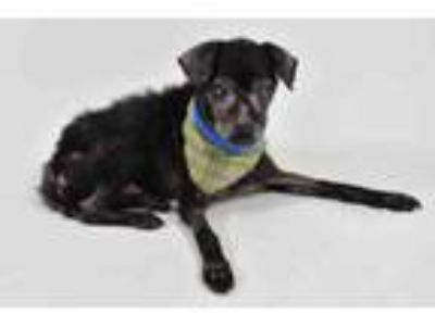 Adopt CHESTER a Poodle, Mixed Breed