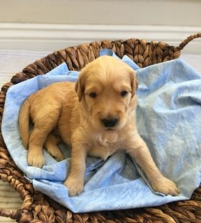 Goldendoodle PUPPY FOR SALE ADN-95213 - F1 Goldendoodle Puppies