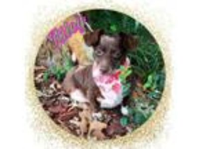 Adopt Riley a Brown/Chocolate - with White Dachshund / Mixed dog in Ocala