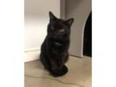 Adopt Elroy a Domestic Short Hair