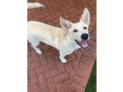 Adopt Jace a White Great Pyrenees / Labrador Retriever dog in Christiana