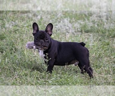 French Bulldog PUPPY FOR SALE ADN-130907 - French Bulldog Puppy