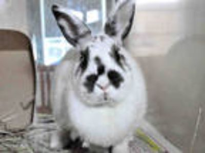 Adopt COOKIE a White Other/Unknown / Mixed rabbit in Ft Lauderdale