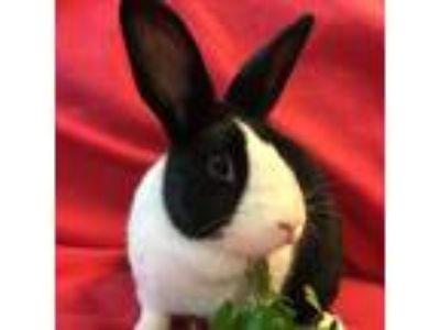 Adopt Juliet & Charlie a Black Dutch / Mixed (short coat) rabbit in Winfield