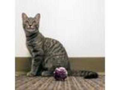 Adopt MacKenzie a Tan or Fawn Tabby Domestic Shorthair (short coat) cat in