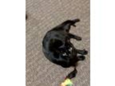 Adopt Sebastian a All Black Domestic Shorthair cat in North Hollywood