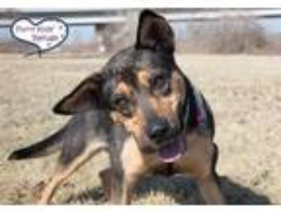 Adopt Hazel a Black - with Tan, Yellow or Fawn Shepherd (Unknown Type) /