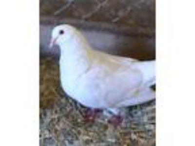 Adopt Lacey a Pigeon bird in Novato, CA (25132235)