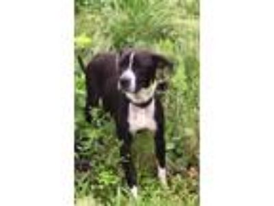 Adopt Sheba a Beagle, Boston Terrier