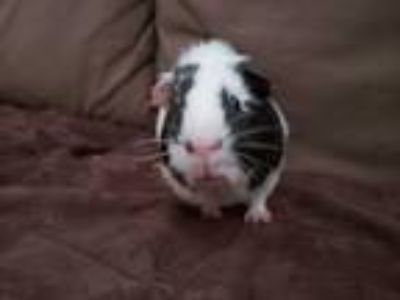 Adopt Reed a White Guinea Pig (short coat) small animal in Harleysville