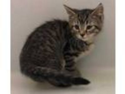 Adopt Smores a Brown or Chocolate Domestic Mediumhair / Domestic Shorthair /