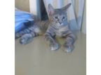 Adopt Tigger a Gray, Blue or Silver Tabby American Shorthair cat in Haltom City