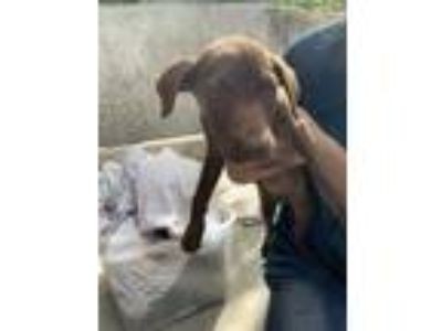 Adopt Dede a Brown/Chocolate Terrier (Unknown Type, Small) / Mixed dog in St.