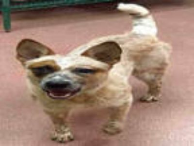 Adopt PATCHES a Red/Golden/Orange/Chestnut Australian Cattle Dog / Mixed dog in