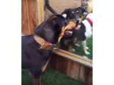 Adopt CUTE WoofMan's Cuz a Rottweiler, Shepherd