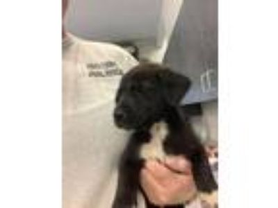Adopt Jackson Pup 2 a Labrador Retriever, Mixed Breed