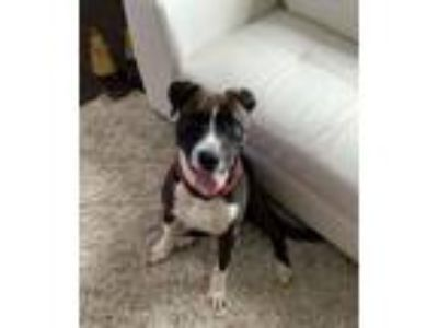 Adopt Drew a Brown/Chocolate - with White Boxer / Pit Bull Terrier / Mixed dog
