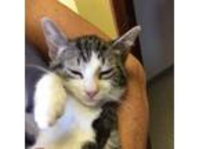 Adopt Talulah a White Domestic Shorthair cat in Pendleton, NY (25654701)