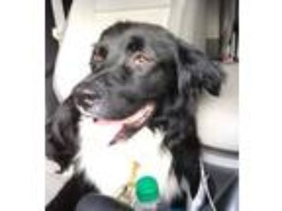 Adopt DJ a Border Collie