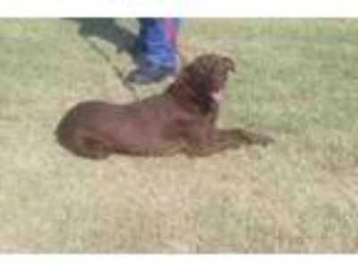 Adopt LIV a Brown/Chocolate Labrador Retriever / Mixed dog in Clinton