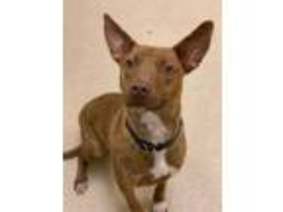 Adopt Honey a Vizsla / American Staffordshire Terrier / Mixed dog in Grand