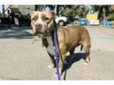 Adopt CHRISSY a Gray/Blue/Silver/Salt & Pepper Pit Bull Terrier / Mixed dog in