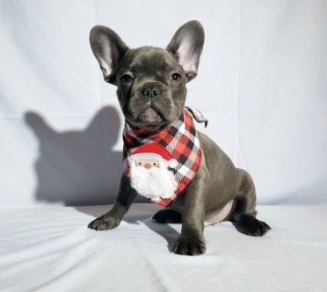 French Bulldog PUPPY FOR SALE ADN-105771 - FrenchieZ PuP