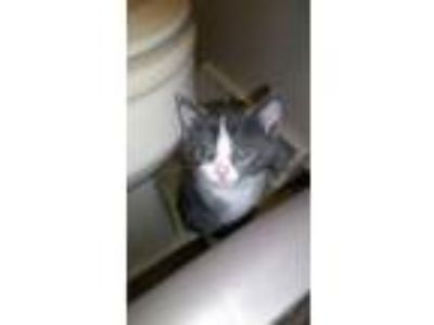 Adopt Kittens - Male and Female a Domestic Short Hair
