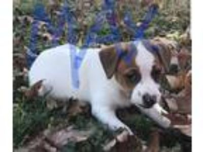 Adopt Max a White - with Brown or Chocolate Australian Shepherd / Beagle dog in
