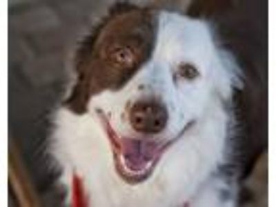 Adopt Beaux a Border Collie