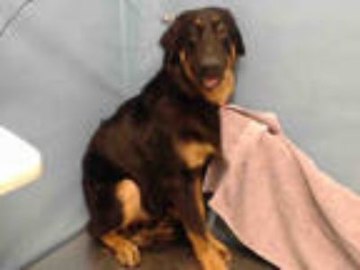 Adopt BALBON a Black - with Tan, Yellow or Fawn German Shepherd Dog / Labrador