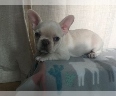French Bulldog PUPPY FOR SALE ADN-125520 - AKC french bulldog puppies for sale
