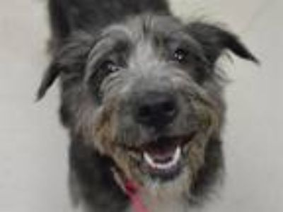 Adopt Coco a Wirehaired Terrier, Mixed Breed
